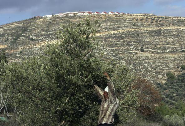 Grove「Israeli Human Rights Activists Protect Palestinian Olive Harvest」:写真・画像(18)[壁紙.com]
