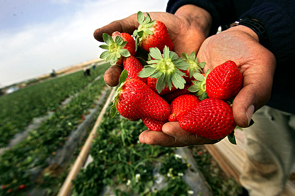 Fruit「Palestinian Farmers Harvest Strawberry」:写真・画像(9)[壁紙.com]