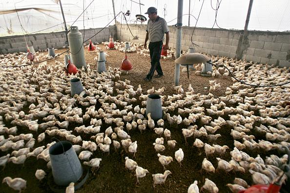 Deir Al-balah「Gaza Chicken Farms Suffer From Lack Of Veterinary Medicine」:写真・画像(0)[壁紙.com]
