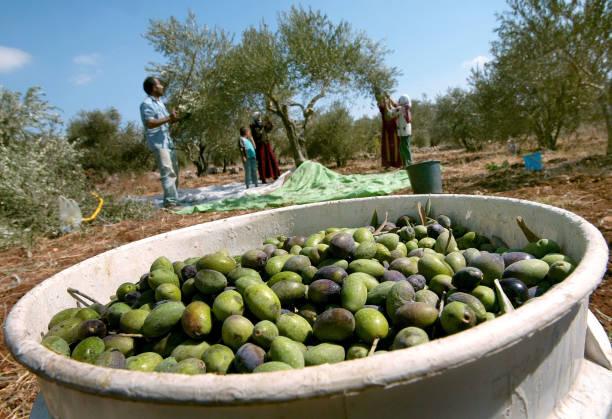 Palestinians Harvest Olives In The West Bank:ニュース(壁紙.com)