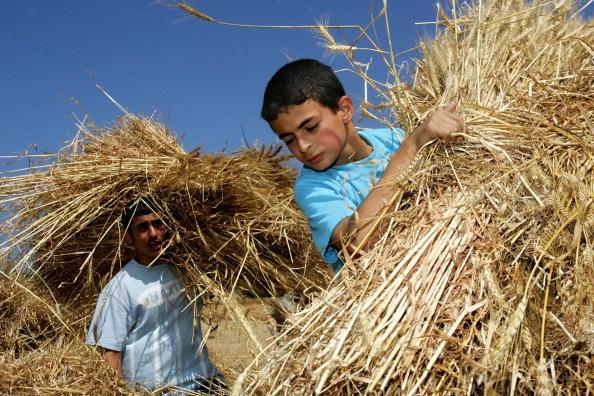 Deir Al-balah「Palestinian Farmers Harvest Wheat In The Gaza Strip」:写真・画像(12)[壁紙.com]