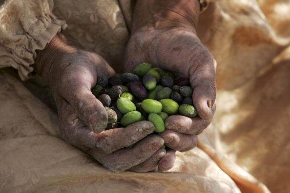 Grove「Israeli Human Rights Activists Protect Palestinian Olive Harvest」:写真・画像(18)[壁紙.com]