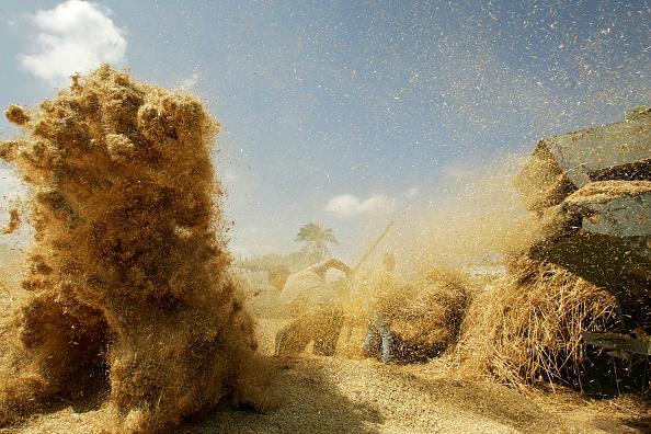 Deir Al-balah「Palestinian Farmers Harvest Wheat In The Gaza Strip」:写真・画像(15)[壁紙.com]