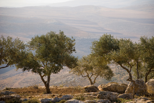 West Bank「Landscape with olive trees in Palestine」:スマホ壁紙(1)