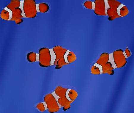 Clownfish「Clownfish」:スマホ壁紙(18)