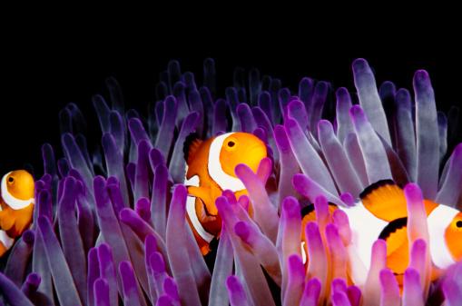 Clownfish「clownfish (Amphiprion Ocellaris)」:スマホ壁紙(6)