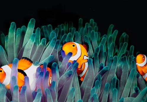Clownfish「clownfish (Amphiprion Ocellaris)」:スマホ壁紙(13)