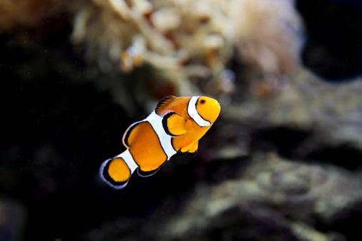 Clownfish「Clownfish」:スマホ壁紙(16)
