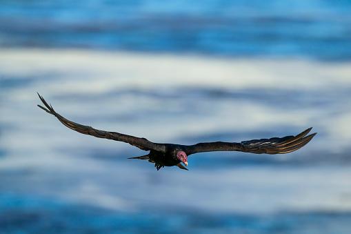 Falkland Islands「turkey vulture (Cathartes aura)」:スマホ壁紙(0)