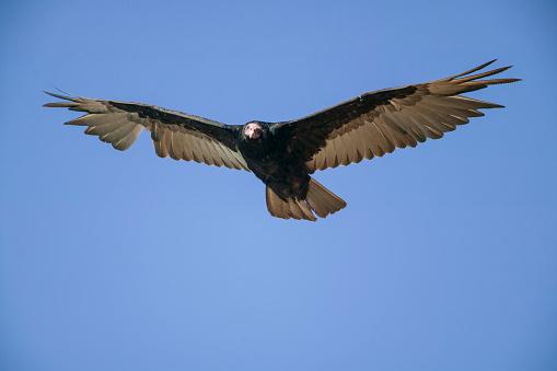 Falkland Islands「Turkey vulture (Cathartes aura). Falkland Islands, South Atlantic」:スマホ壁紙(10)