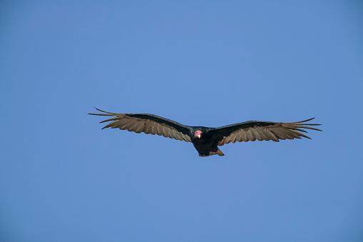 Falkland Islands「Turkey vulture (Cathartes aura). Falkland Islands, South Atlantic」:スマホ壁紙(8)