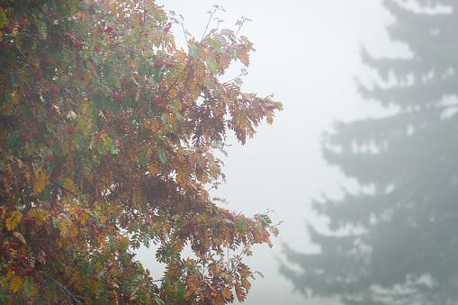 Rowanberry「Misty forest with rowan and spruce」:スマホ壁紙(7)