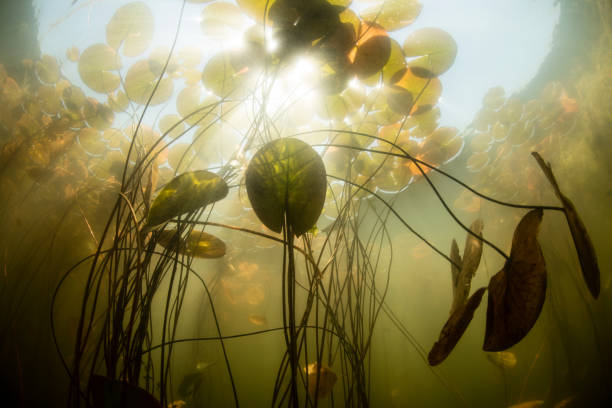 Sunlight shines on lily pads along edge of a freshwater lake in New England.:スマホ壁紙(壁紙.com)