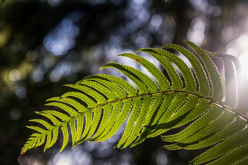Frond「Sunlight shines through a sword fern frond (Polystichum munitum)」:スマホ壁紙(5)