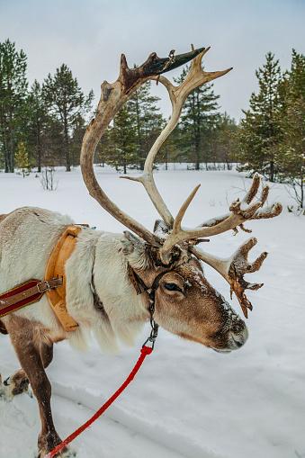 Sled「Reindeer sled trip in Finland」:スマホ壁紙(15)