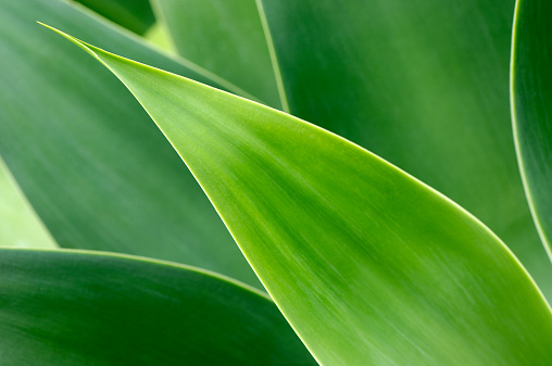 Saturated Color「Agave leaves」:スマホ壁紙(6)