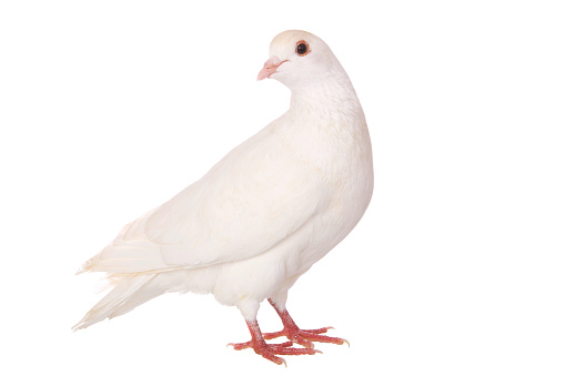 Pigeon「An isolated white pigeon on a white background」:スマホ壁紙(18)