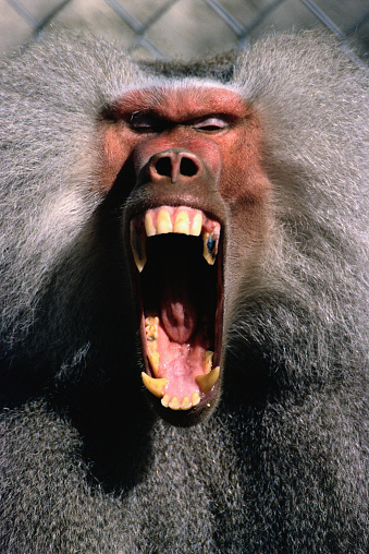 Warning Behavior「Hamadryas Baboon Screaming」:スマホ壁紙(18)