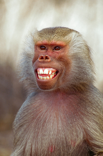 Warning Behavior「Hamadryas Baboon Showing its Teeth」:スマホ壁紙(13)