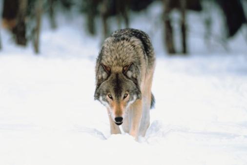Animals Hunting「Gray wolf in snow」:スマホ壁紙(9)