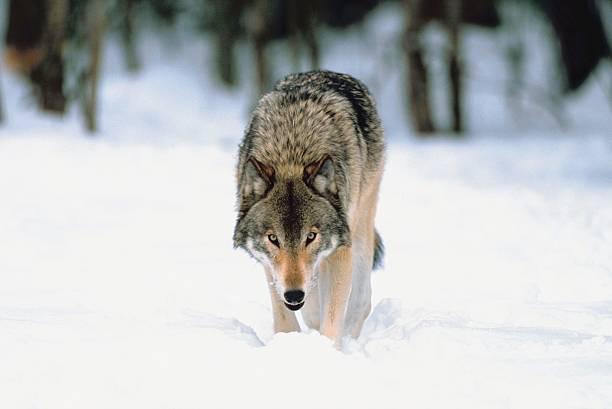 Gray wolf in snow:スマホ壁紙(壁紙.com)