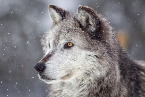 Animal Wildlife「Gray Wolf  in Winter」:スマホ壁紙(13)