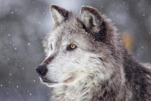 Wolf「Gray Wolf  in Winter」:スマホ壁紙(0)