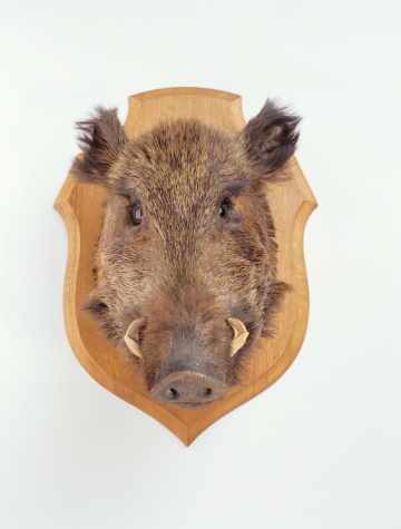 首都「Mounted wild boars head, studio shot」:スマホ壁紙(12)