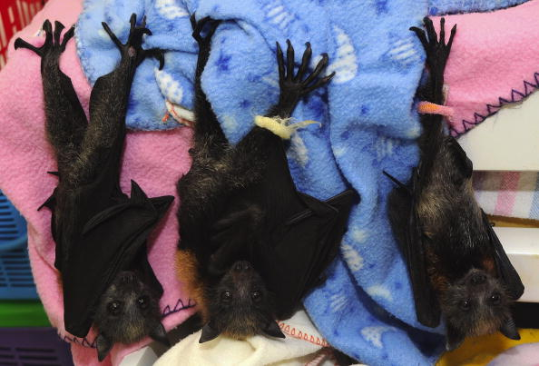 Animal「Baby Flying Foxes Rescued In Queensland」:写真・画像(16)[壁紙.com]