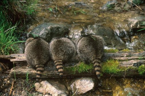 アライグマ「Three baby raccoons (Procyon lotor), rear view, Montana, USA」:スマホ壁紙(17)