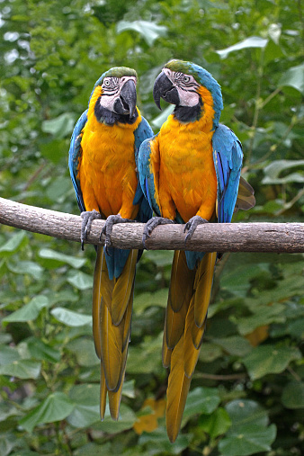 Claw「Two blue and yellow macaws(Ara ararauna) perched on branch」:スマホ壁紙(7)