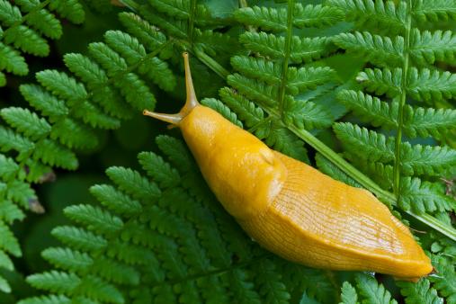 ナメクジ「Banana Slug on a fern--Redwood National Park」:スマホ壁紙(9)