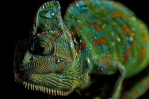 Eyesight「Veiled Chameleon close up portrait on black background」:スマホ壁紙(10)