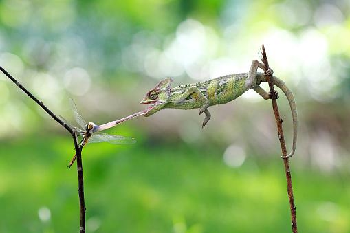 Dragonfly「Veiled chameleon (chamaeleo calyptratus) hunting dragonfly」:スマホ壁紙(19)