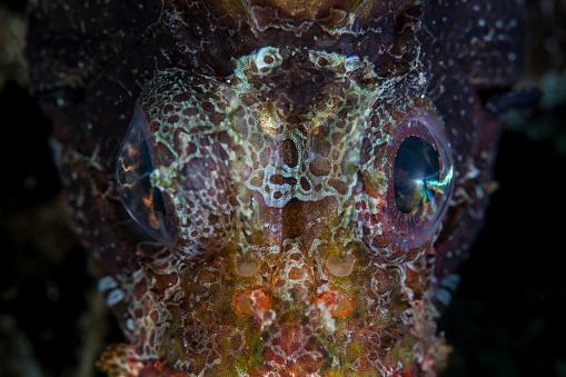 Furious「The eyes of a shortfin lionfish.」:スマホ壁紙(3)