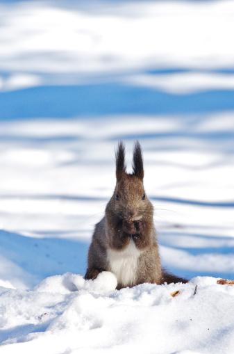 リス「Japanese Squirrel (Sciurus Vulgaris Orientis)」:スマホ壁紙(2)