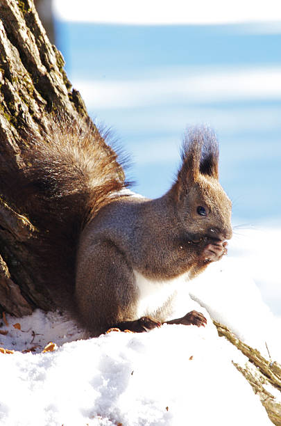 Japanese Squirrel (Sciurus Vulgaris Orientis):スマホ壁紙(壁紙.com)