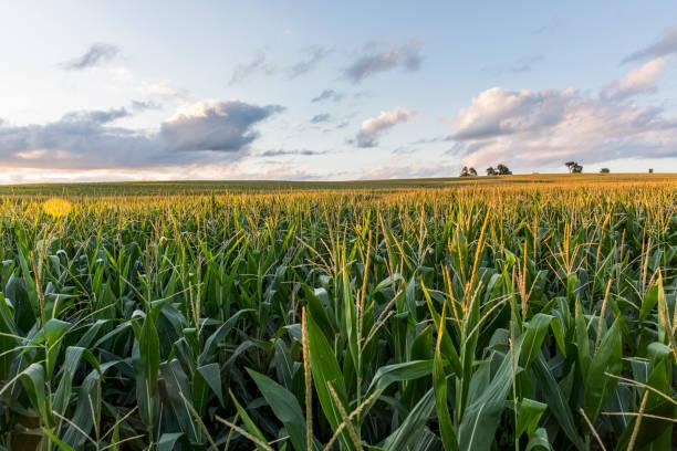 The sunsets over cornfields:スマホ壁紙(壁紙.com)