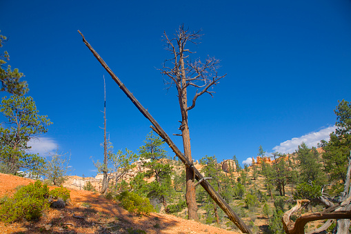 Pretty「Diagonal tree blackened by fire at Mossy Cave Trail, Bryce Canyon NP, Utah」:スマホ壁紙(11)