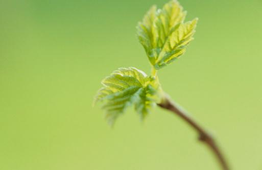 セイヨウカジカエデ「Maple sprout」:スマホ壁紙(9)