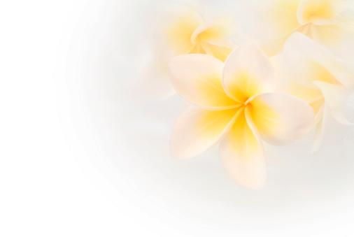 プルメリア「バージン白いプルメリア」:スマホ壁紙(12)