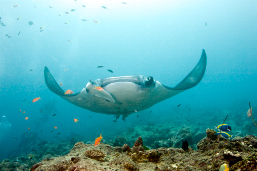 Unrecognizable Person「Manta Ray, Maldives」:スマホ壁紙(5)