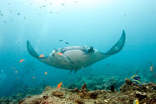 Manta「Manta Ray, Maldives」:スマホ壁紙(4)