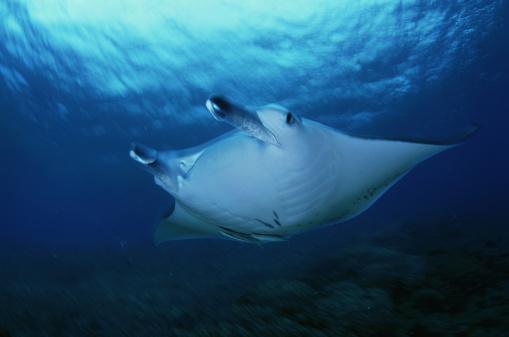 マンタ「manta ray, manta birostris, fiji」:スマホ壁紙(15)