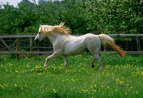 Stallion「Welsh Section B Pony Stallion」:スマホ壁紙(14)