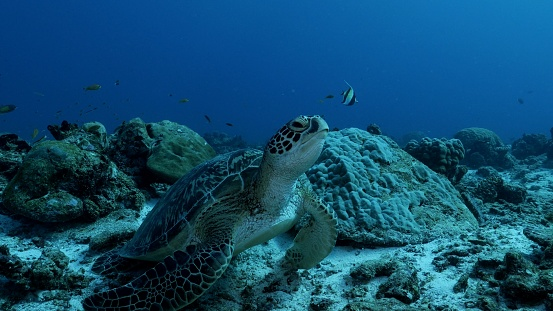 Green Turtle「Wild Green Sea Turtle at undersea coral reef in Maldives」:スマホ壁紙(0)