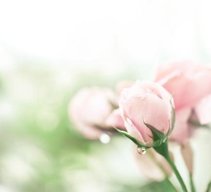 薔薇「ピンクローズ後レイン」:スマホ壁紙(6)