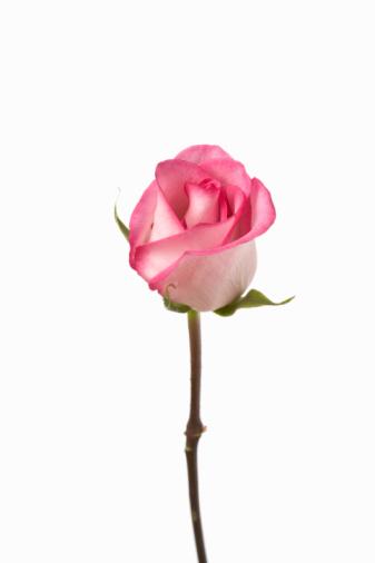 Plant Stem「Pink rose against white background, close-up」:スマホ壁紙(14)