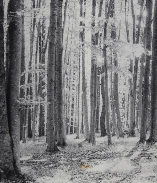 Beech Tree「Sunlit Buchenwald」:写真・画像(2)[壁紙.com]