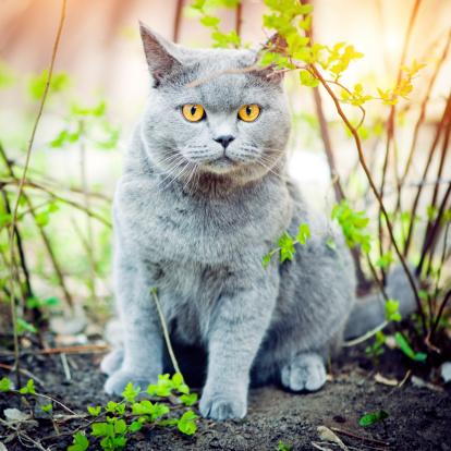 ショートヘア種の猫「かわいい猫」:スマホ壁紙(14)